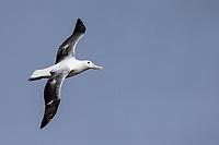 Royal Albatross (Diomedea epomophora epomophora), Southern subspecies in flight over Enderby Island in the Aukland Islands, New Zealand.