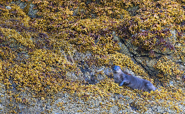 Late in the trip, we found a North American river otter foraging along the coastline.