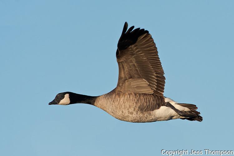 Canada Goose in flight, Brownfield, Texas