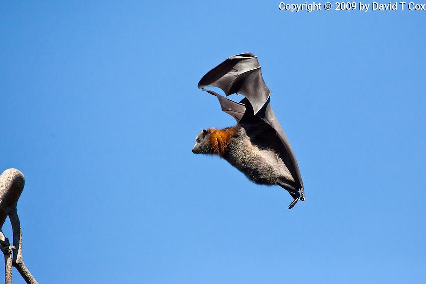 Grey-Headed Flying Fox in flight, Botanical Gardens, Sydney, Australia