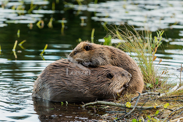Two North American Beaver (Castor canadensis) grooming each other along edge of pond.  Northern Rockies,  Fall.