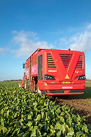 Harvesting sugar - Lincolnshire, October