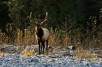 Roosevelt Elk Bull (Cervus canadensis roosevelti) along Pacific NW River.  Fall.