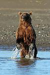 Brown Bear Standing