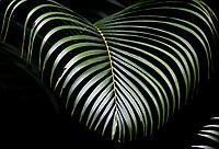 CALI - COLOMBIA - 09 - 02 - 2018: Hoja de Palma. Palm Leaf. Photo: VizzorImage / Luis Ramirez / Staff.