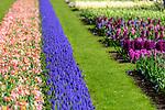 Spring flower displays. Keukenhof Flower Gardens, Lisse, near Amsterdam, The Netherlands.