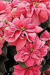WINTER ROSE EARLY PINK POINSETTIA, EUPHORBIA PULCHERRIMA