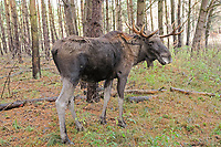 Moose (Alces alces) in its natural environment