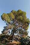 T-006 Pine tree in Sarid