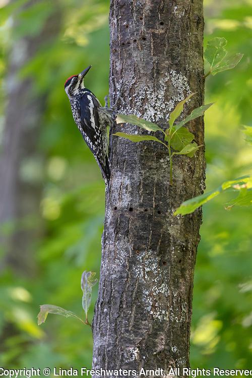 Male yellow-bellied sapsucker climbing an oak tree in northern Wisconsin.