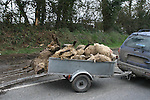 23 sheep killed as Trailer overturns