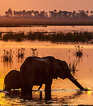 African bush elephant (Loxodonta africana) and calf at dusk, Okavango Delta, Botswana<br /> <br /> Canon EOS-1Ds Mark II, EF400mm f/4 DO IS USM lens, f/13 for 1/250 second, ISO 160