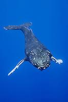 Humpback whale (Megaptera novaeangliae), Hawai'i.