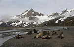 Antarctic fur seals at Right Whale Bay in South Georgia.