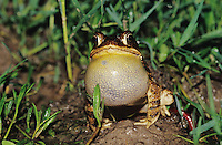 Gulf Coast Toad, Bufo valliceps, male calling at night, Willacy County, Rio Grande Valley, Texas, USA, May 2004