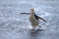 Royal Penguin (Eudyptes schlegeli), adult coming out of the surf at Sandy Bay, Macquarie Island, Australia.