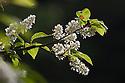 Bird Cherry (Prunus padus) blossom. Peak District National Park, Derbyshire, UK. April.