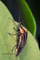 1C24-539z  Firefly Adult - Lightning Bug - Photuris spp