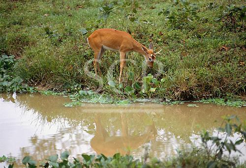 Panatal, Brazil. Pampas deer (Ozotoceros bezoarticus) at the riverside.
