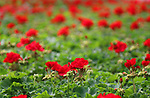 Red Geraniums in a greenhouse