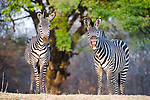 Crawshay's Zebras (Equus quagga crawshayi) -subspecies of Plains Zebra. On the banks of the Luangwa River. South Luangwa National Park, Zambia.