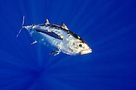 bigeye tuna or ahi in Hawaiian, Thunnus obesus, juvenile, shibi or shibiko in Hawaiian, offshore, Kona Coast, Big Island, Hawaii, USA, Pacific Ocean