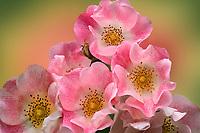 Close up of Tea roses.