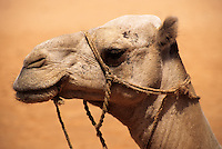 In-Gall, near Agadez, Niger -  Camel with Rope Bridle