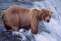 609682225 a wild adult brown bear ursus arctos stands at the falls waiting for jumping salmon near brooks lodge in katmai national park alaska