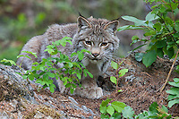 Canada Lynx looking over the top of a rock - CA