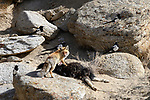 Adult red fox (Vulpes vulpes) feeding / scavenging on the carcass of a domestic yak or dzo (killed by a snow leopard), also with scavening magpies (Pica pica). Himalayas, Ladakh, northern India.