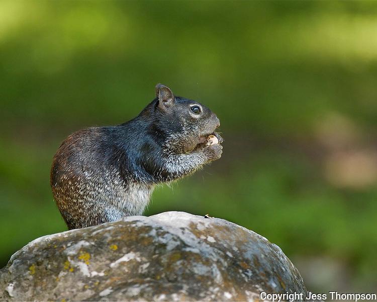 Rock Squirrel, Garner State Park, Texas