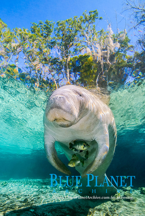 Florida manatee, Trichechus manatus latirostris, a subspecies of West Indian manatee, and bluegill, Lepomis macrochirus, sheltering under the manatee, Three Sisters Springs, Crystal River National Wildlife Refuge, Kings Bay, Crystal River, Florida, USA