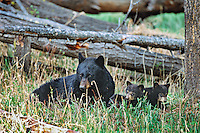 Black Bear sow with very young cubs, Western U.S., May.