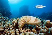 broadclub cuttlefish, Sepia latimanus, Great Barrier Reef, Queensland, Australia, Coral Sea, South Pacific Ocean
