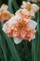 Narcissus 'Apricot Whirl', mid April. A split corona daffodil with very large, salmon-pink and luminous white flowers.