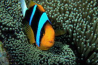 An Orange-fin anemone fish. Papua New Guinea.