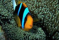 An Orange-fin anemone fish. Papua New Guinea.