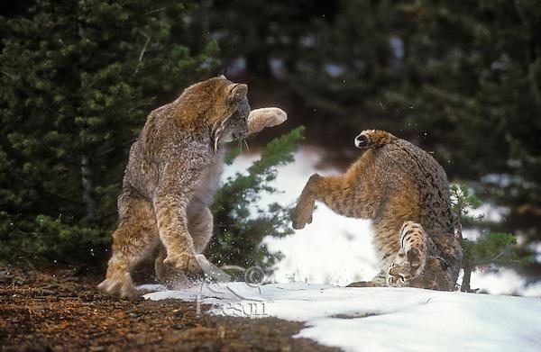 Lynx on left (Felis lynx canadensis). Bobcat on right (Felis rufus). Winter. North America.  Snow depth will often determine their respective range as the bobcat avoids deep snow.