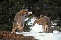 Lynx on left (Felis lynx canadensis). Bobcat on right (Felis rufus). Winter. North America.  Snow depth will often determine their respective range as the bobcat avoids deep snow.