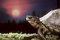 1R40-012x  Eastern Box Turtle - sitting with sun in background - Terrapene carolina