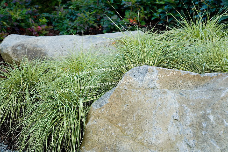 A cluster of variegated ornamental grass sits tucked amid two large rocks in this Pacific Northwest garden.