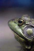 An American Bullfrog (Rana catesbeiana) in Beijing Zoo.