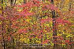 Dogwood in autumn, Green Lane Park; Montogmery County, Pennsylvania