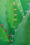 Agave, Desert Botanical Museum, Phoenix, AZ