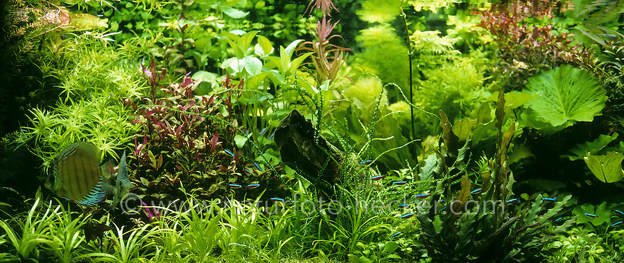Eingerichtetes Aquarium, Gesellschaftsbecken, Warmwasseraquarium, tropisches Süßwasser-Aquarium, aquarium, fish tank. Diskusfisch, Diskus-Fisch, Diskusbuntbarsch, Diskus-Buntbarsch, Diskus, Symphysodon aequifasciatus, Symphysodon aequifasciata, Symphysodon discus aequifasciata, discus, pompadour fish, Buntbarsche, Cichlidae. Roter Neon, Kardinaltetra, Roter Neonfisch, Paracheirodon axelrodi, Cheirodon axelrodi, Hyphessobrycon cardinalis, cardinal tetra, Cardinalis, Néon rouge, Tétra cardinal, néon cardinalis. Süd-Amerika Becken
