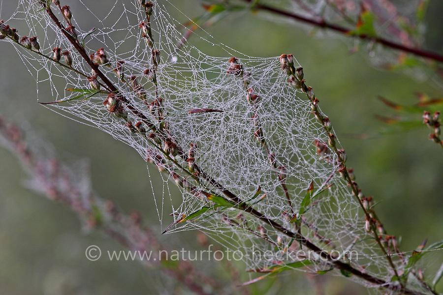 Kugelspinnen-Netz, Netz einer Kugelspinne, Spinnenetz, Haubennetzspinnen, Haubennetzspinne, Theridiidae, tangle-web spiders, cobweb spiders, comb-footed spiders