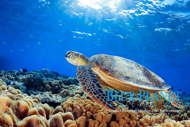 Green Sea Turtle, Chelonia mydas, Queensland, Australia, Great Barrier Reef National Park, Coral Sea, South Pacific Ocean