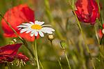 Europa, DEU, Deutschland, Nordrhein-Westfalen, Niederrhein, Margeriten (Leucanthemum), Bluete, Klatschmohn (Papaver rhoeas), auch Mohnblume oder Klatschrose, Natur, Umwelt, Pflanzen, Pflanzenkunde, Botanik, Biologie, <br /> <br /> [Fuer die Nutzung gelten die jeweils gueltigen Allgemeinen Liefer-und Geschaeftsbedingungen. Nutzung nur gegen Verwendungsmeldung und Nachweis. Download der AGB unter http://www.image-box.com oder werden auf Anfrage zugesendet. Freigabe ist vorher erforderlich. Jede Nutzung des Fotos ist honorarpflichtig gemaess derzeit gueltiger MFM Liste - Kontakt, Uwe Schmid-Fotografie, Duisburg, Tel. (+49).2065.677997, ..archiv@image-box.com, www.image-box.com]