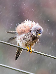 "Pictured:  Shaking the rain off.<br /> <br /> A kestrel appears to 'spin dry' itself by shaking its head vigorously after getting soaked in a downpour.  The bird of prey perches on a thin wire fence and periodically attempts to dry out its sodden feathers.<br /> <br /> The rare bird was photographed by retired university lecturer Michael Parnwell at a spot overlooking Cragg Vale, in West Yorkshire.  Prof Parnwell, 67, who lives in nearby Saltaire, said: ""I had noticed that every few minutes the kestrel would have a shake to dislodge the accumulating rain water, so I waited to try to capture this with a modicum of motion blur.  SEE OUR COPY FOR DETAILS.<br /> <br /> Please byline: Michael Parnwell/Solent News<br /> <br /> © Michael Parnwell/Solent News & Photo Agency<br /> UK +44 (0) 2380 458800"